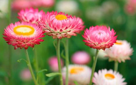 Красивые сухоцветы бессмертники