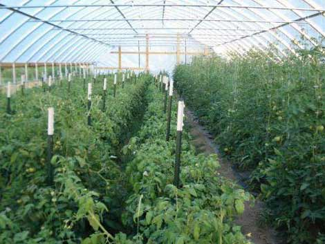 Рассада помидор в теплице