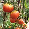 Сбор и хранения помидор