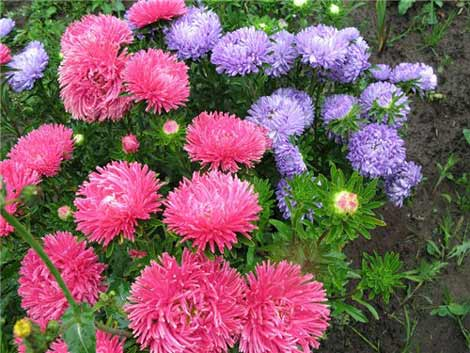 Цветы астры в саду